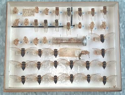 Sample from the William T. Davis Collection of Cicadas. Photograph by Alexander Bolesta.
